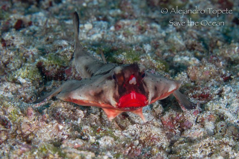 Bat Fish Red lips, Galápagos Ecuador by Alejandro Topete