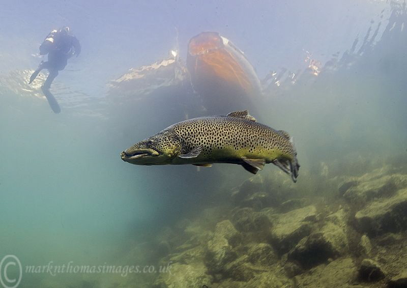 Brown trout. by Mark Thomas
