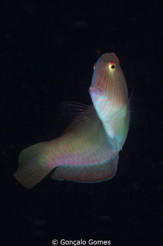 Peixe Papagaio by Gonçalo Gomes