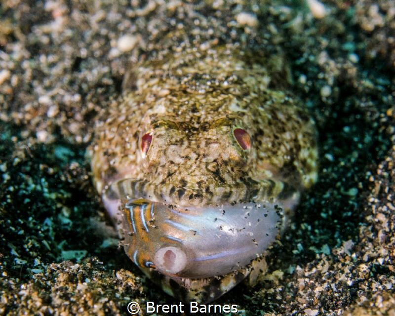 A lizardfish feeding in the Lembeh Strait of Sulawesi, In... by Brent Barnes