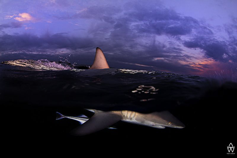 """""""Submerge""""  Oceanic Black Tip breaks the surface to the... by Allen Walker"""