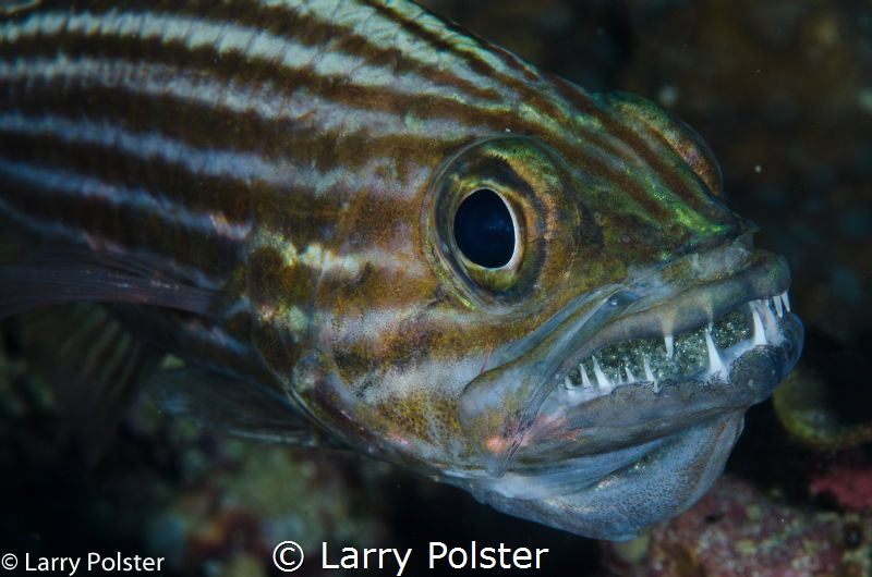 Anilao, great Critter territory by Larry Polster