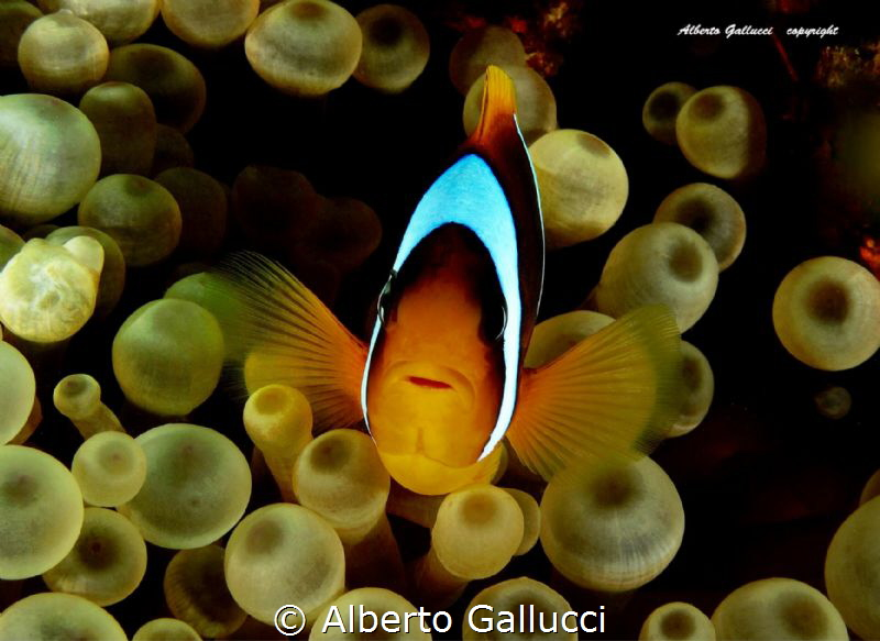 Clownfish by Alberto Gallucci