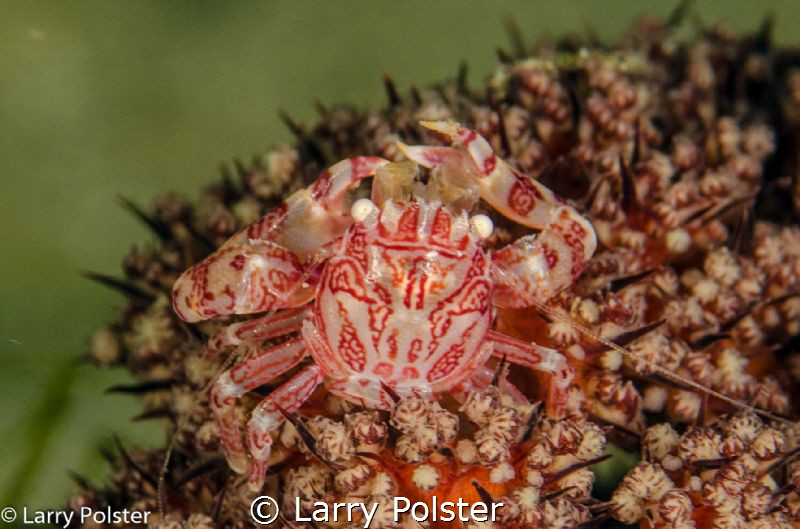Micro crabs everywhere by Larry Polster