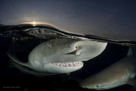 Split shot photo of two Lemon Sharks with a magnificent n... by Christopher Borel