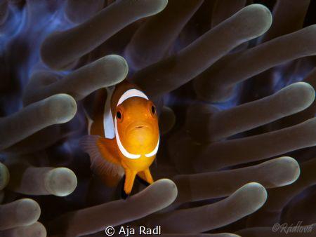False Clown Anemonefish (Amphiprion ocellaris) by Aja Radl