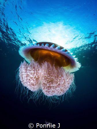 Underwater poisonous mushroom by Ponnie J