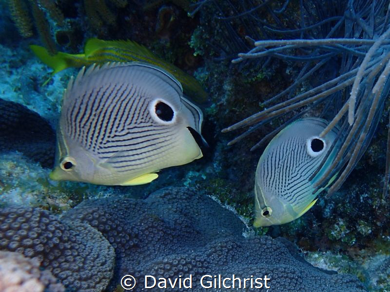 A pair of Four Eyed Butterflyfish in the waters of Looe K... by David Gilchrist