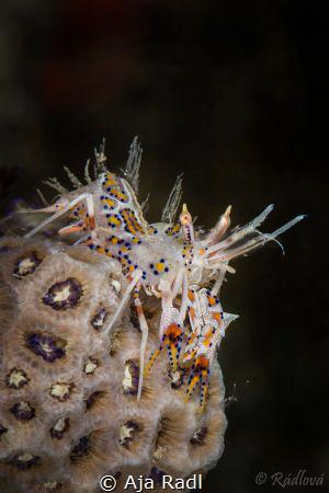Spiny Tiger Shrimp (Phyllognathia ceratophthalmus) by Aja Radl