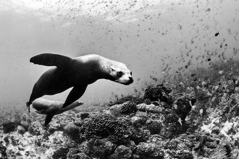 sea lions (Swanne reef, la Paz) by Mathieu Foulquié