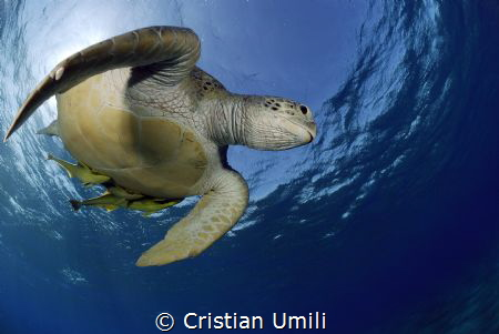 Green turtle by Cristian Umili