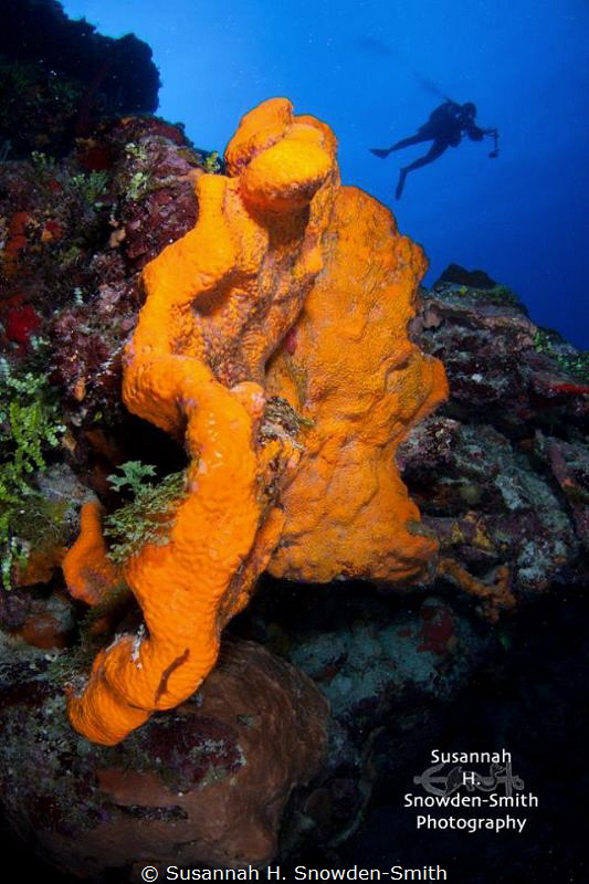 Diver and elephant ear sponge.  I like this version with ... by Susannah H. Snowden-Smith