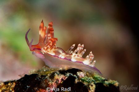 Aeolid Nudibranch (Flabellina ?) by Aja Radl