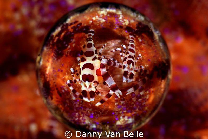Coleman shrimps seen through a magic ball lens by Danny Van Belle