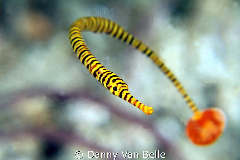 Pipefish move always around. Here I was lucky to get the ... by Danny Van Belle