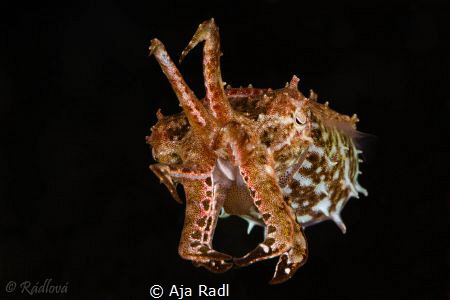 Tiny Crinoid Cuttlefish by Aja Radl