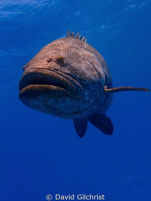 Goliath Grouper, Looe Key Reef by David Gilchrist