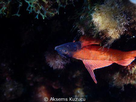 Red triplefin blenny staying upside down on a rock by Aksems Kuzucu