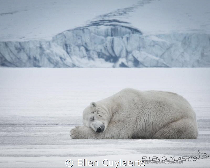 Polar bear sleeping in Svalbard by Ellen Cuylaerts