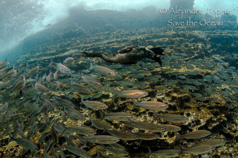 Hunting Bird, Punta Vicente Roca Galapagos by Alejandro Topete