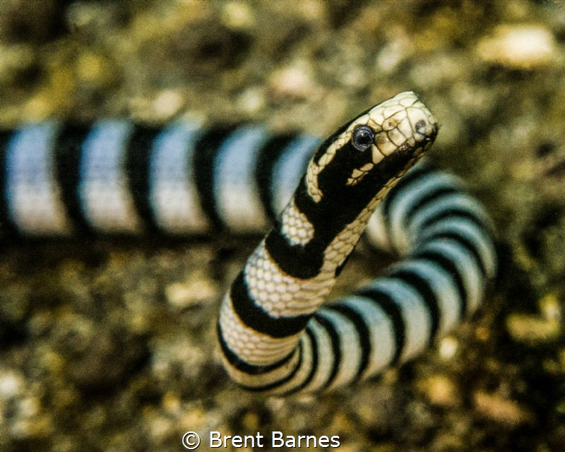 A banded sea snake cruising on the shallow sand at Lembeh... by Brent Barnes