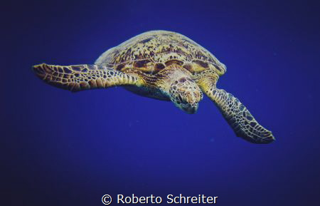 Green sea turtle by Roberto Schreiter