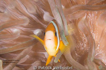 Anemonefish by Patrick Verbustel