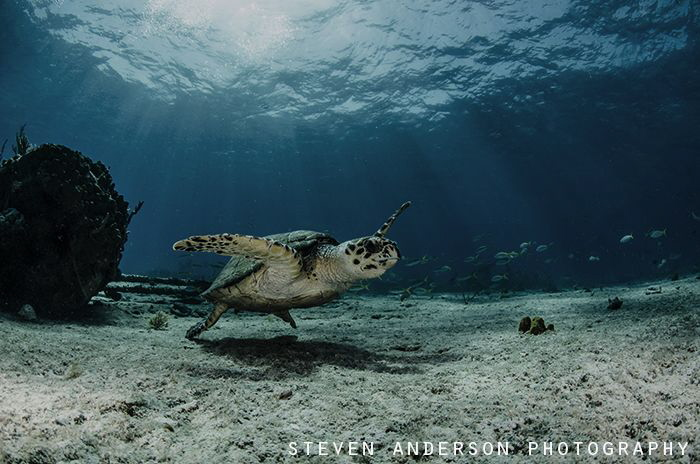 Diving on the Sugar Wreck always provides perfect subject... by Steven Anderson