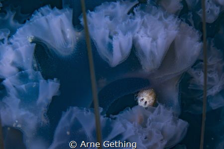 ~ Alien Predator ~ A parasitic Amphipod in the frills of... by Arne Gething
