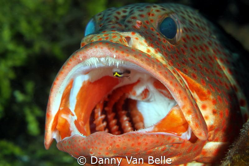 Grouper gets cleaned by Danny Van Belle