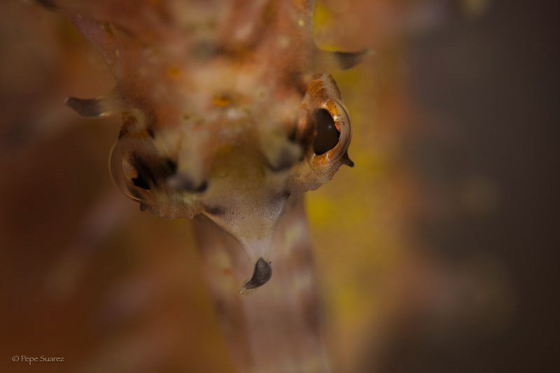The evil eye of a sea horse. by Pepe Suarez