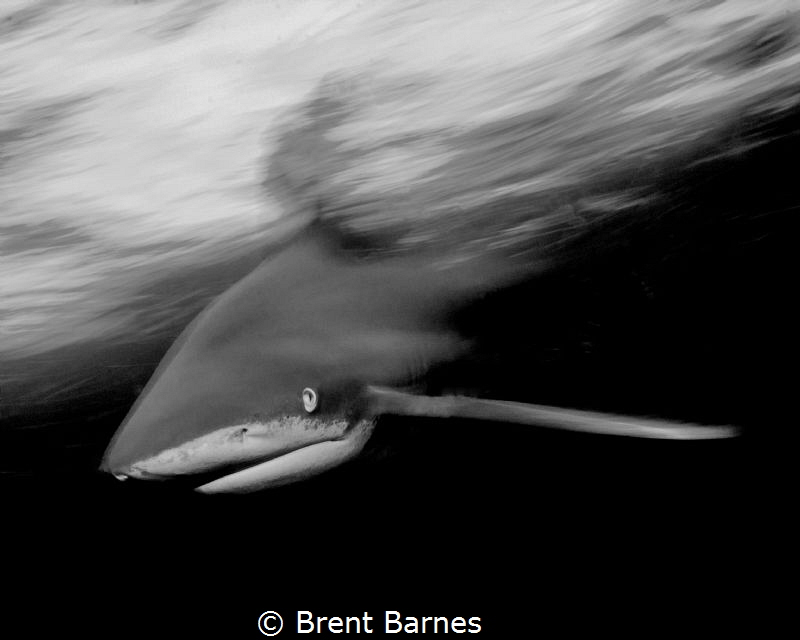 A black and white oceanic white tip shark in action photo... by Brent Barnes