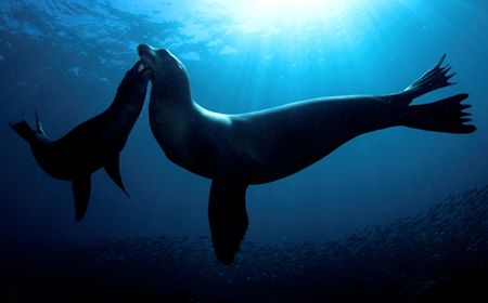 Mother and baby Sealion. Sea of Cortez. D2x 10.5 FE. by Rand Mcmeins