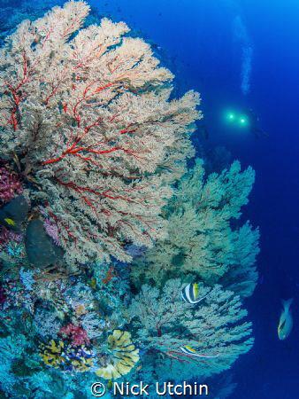 Sea Fan Coral by Nick Utchin