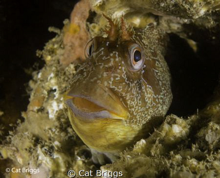 Tompot Blenny