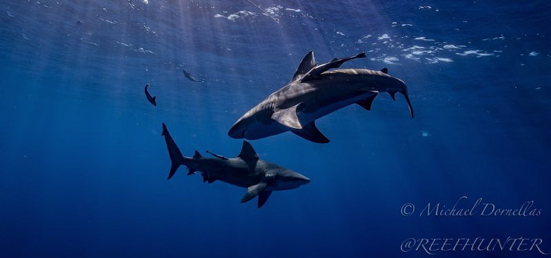 Bull sharks by Michael Dornellas