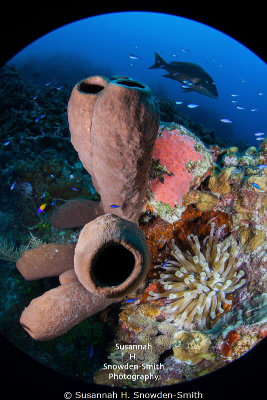 Cayman's beautiful North Wall, rich with life!  An anenom... by Susannah H. Snowden-Smith