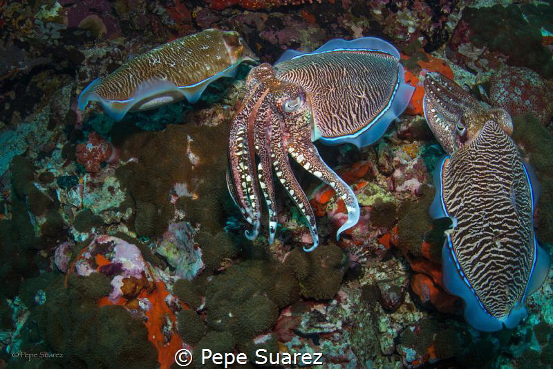 Cuttlefish mating by Pepe Suarez
