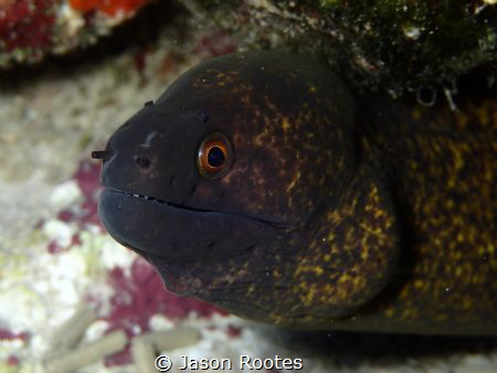 Moray Eel in Tumon Bay, Guam by Jason Rootes