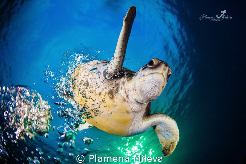 Green turtle comeback by Plamena Mileva