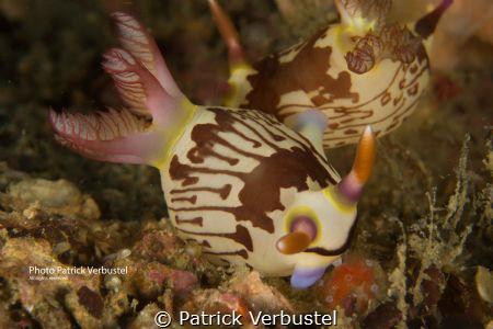 Nudibranch Puerto Galera by Patrick Verbustel
