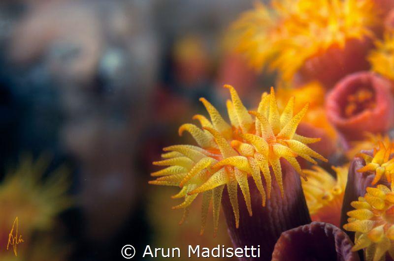 Orange cup coral  Tubastrea coccinea by Arun Madisetti
