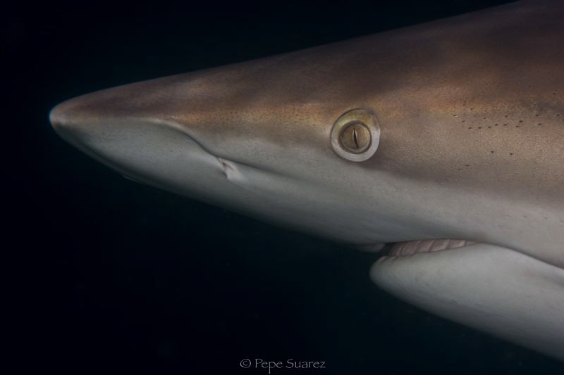 Oceanic Black Tip encounter with a macro lens by Pepe Suarez