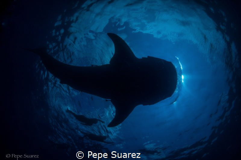 Whale shark in Mexico! by Pepe Suarez