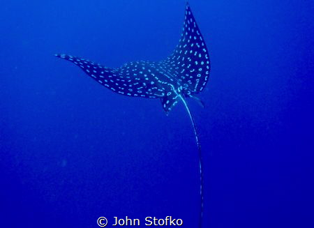 Spotted Eagle Ray trying to get away. by John Stofko