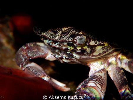 colorful crab by Aksems Kuzucu