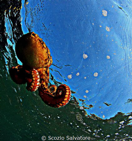 swimming octopus by Scozio Salvatore