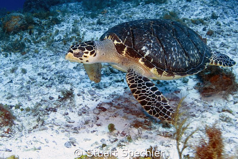 On a great drift dive, this beautiful turtle didn't seem ... by Stuart Spechler