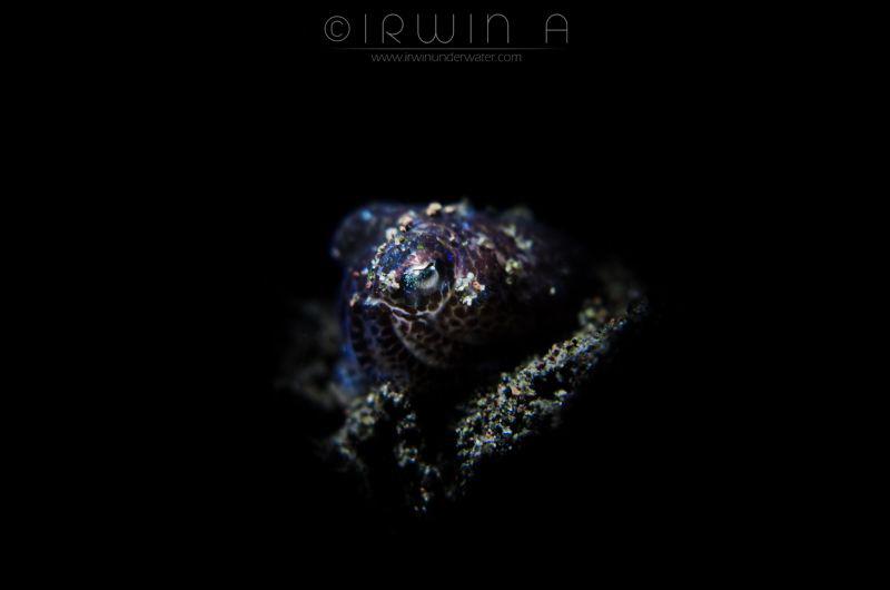 S L E E P Y Bobtail squid (Sepiolida) Tulamben, Indones... by Irwin Ang
