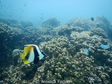 Masked bannerfish swimming by. by Jessica Fagan